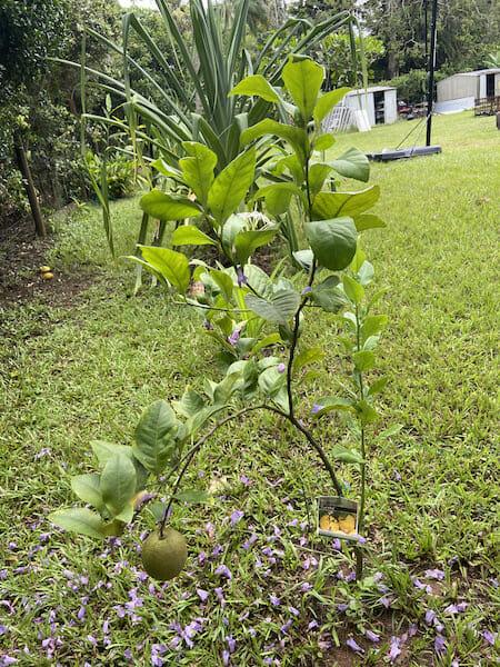 Fruit Trees 2019 IMG 6869